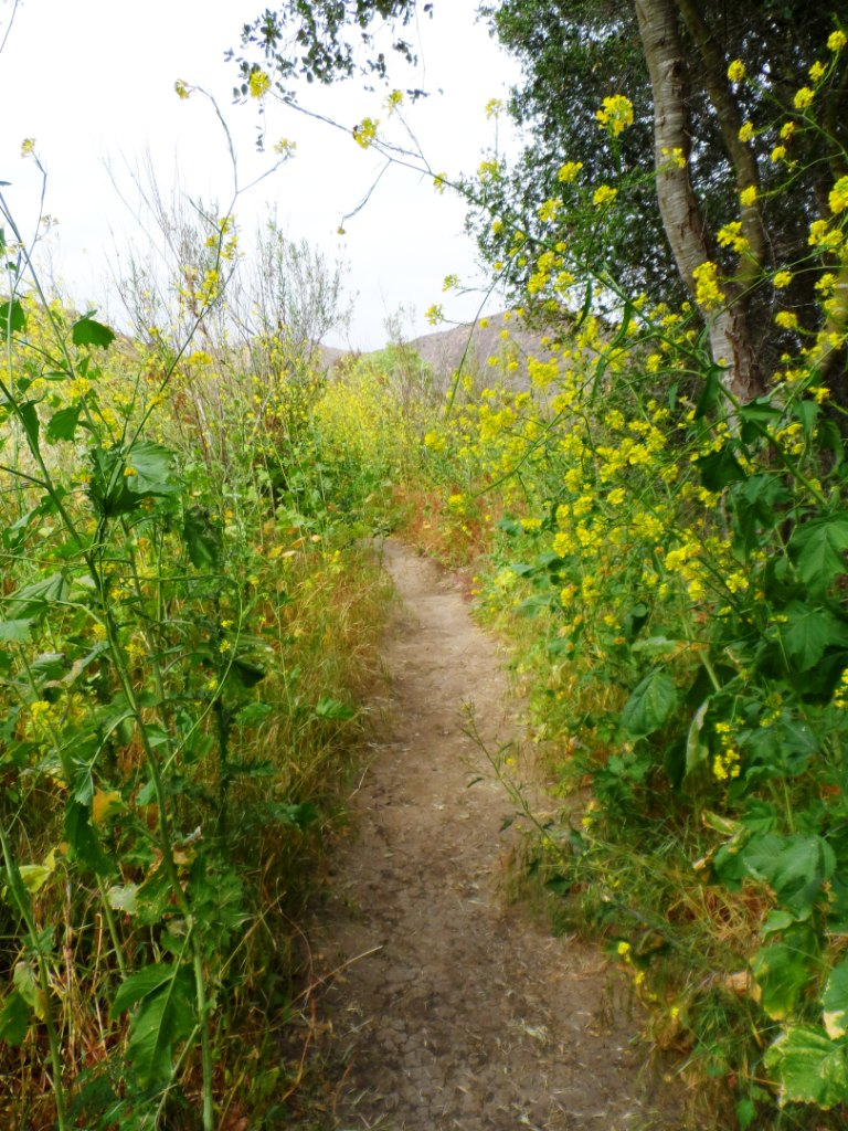 It can get a bit overgrown in the spring as seen here on the hawk canyon trail but quite beautiful nonetheless!