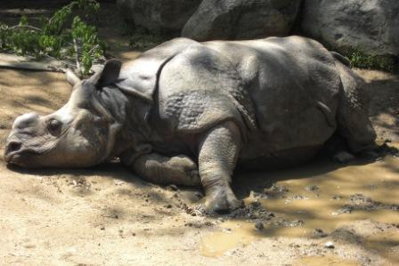 Rhino at Los Angeles Zoo is just kickin' it