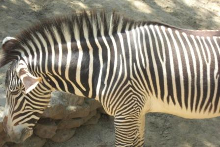 Zebra at Los Angeles Zoo is having a snack