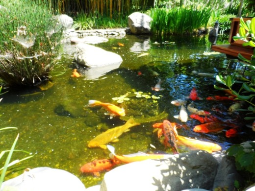 Koi pond in the Japanese Garden