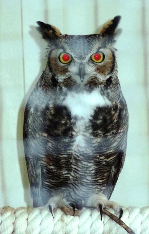 AudubonOwl.JPG