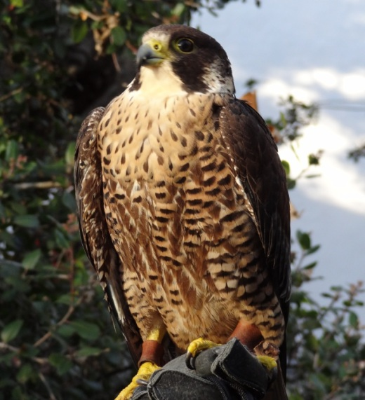 Kisa the Peregrine Falcon