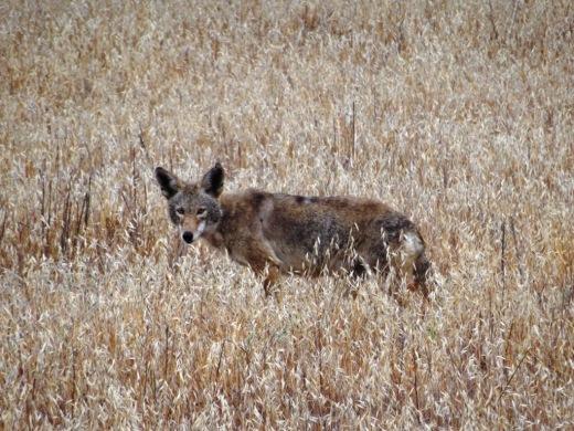 Coyote3_2014.JPG