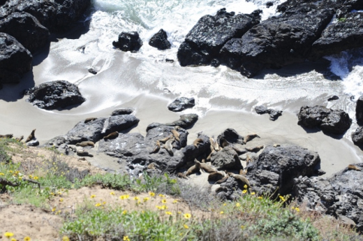 Seals sunning themselves at Point Dume State Beach