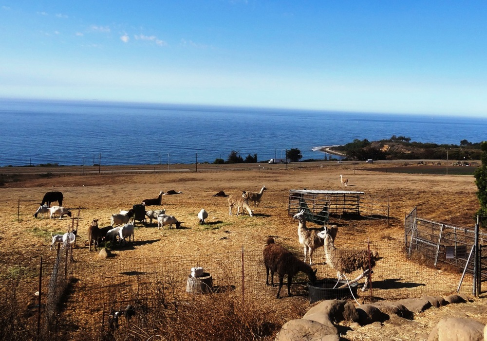 How cool is this...a llama farm is walking distance from El Capitan Canyon Resort.