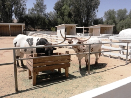 Bull-ying can be a good thing...at the Leonis Adobe in Calabasas.