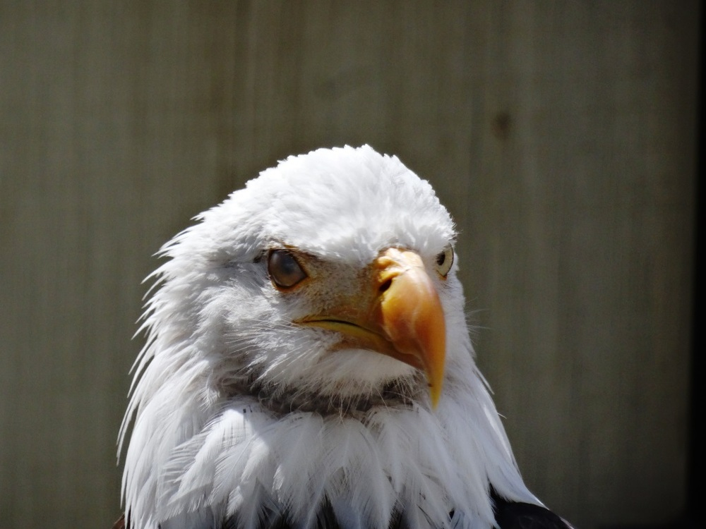 "Another handsome occupant of the zoo - ""Ghost,"" the bald eagle."