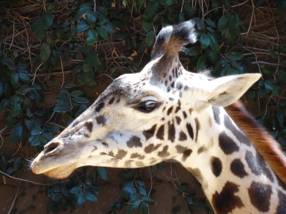 Gentle Giraffe