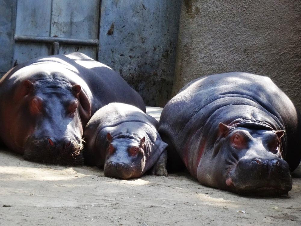 Hippos relaxing