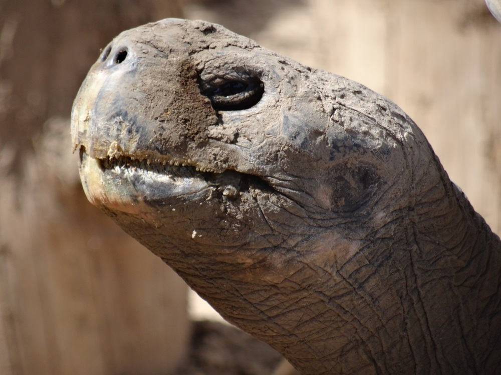 Clarence the Tortoise 2015 Close Up
