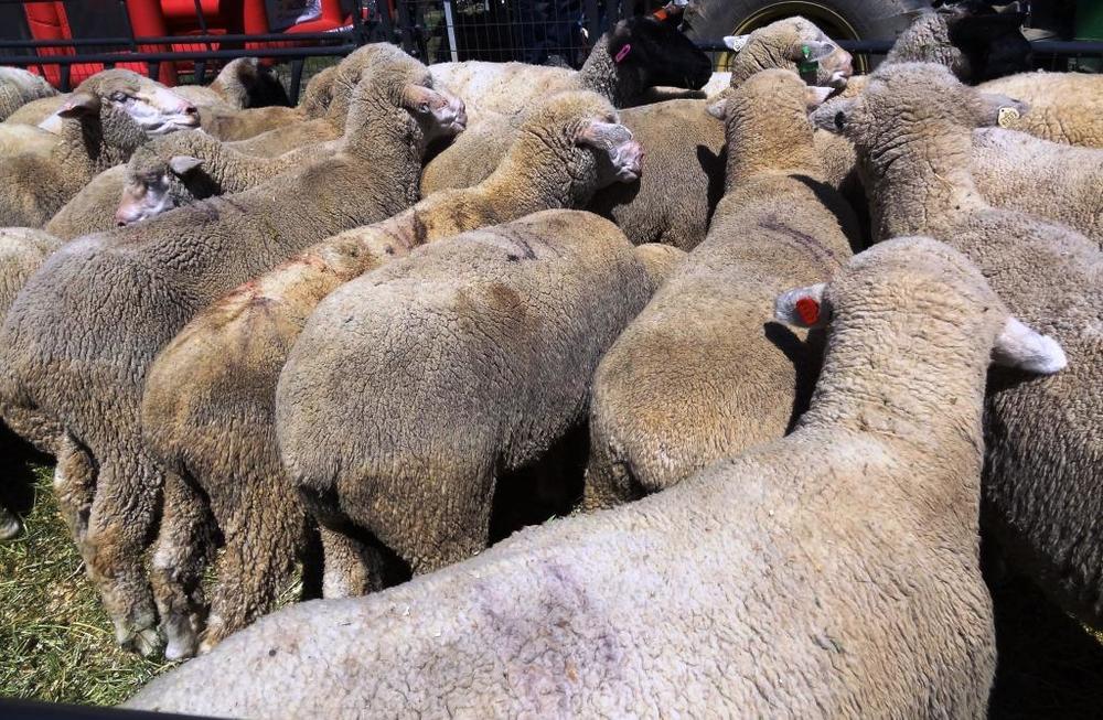 SheepFlock.JPG
