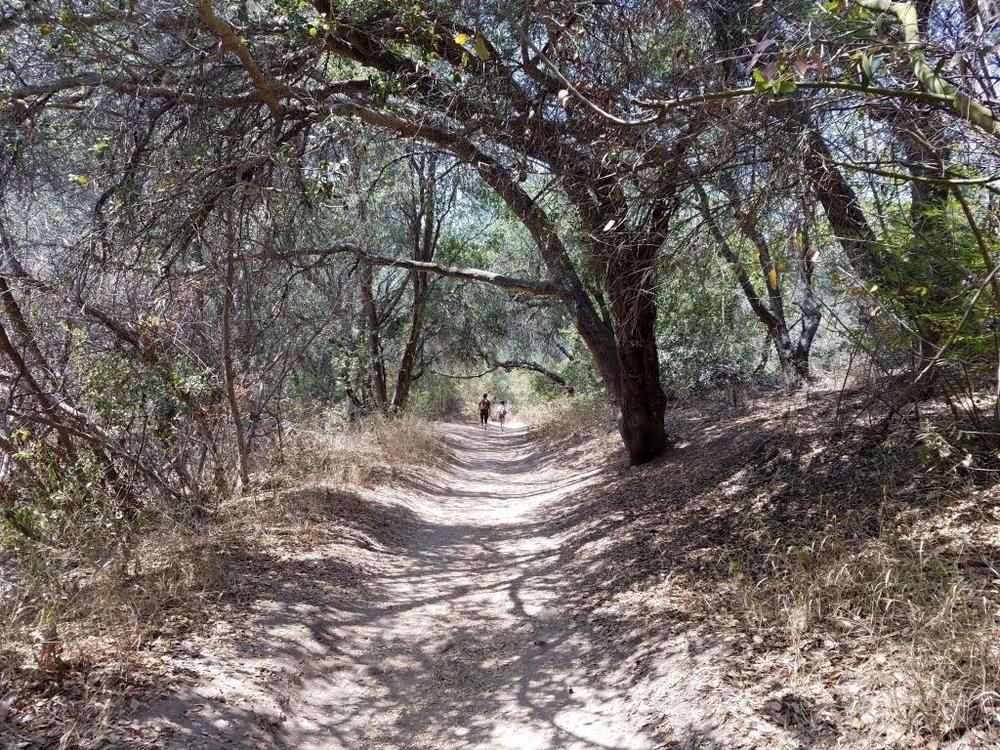 Much of the trail looks like this. Canopied by oaks and shrub.