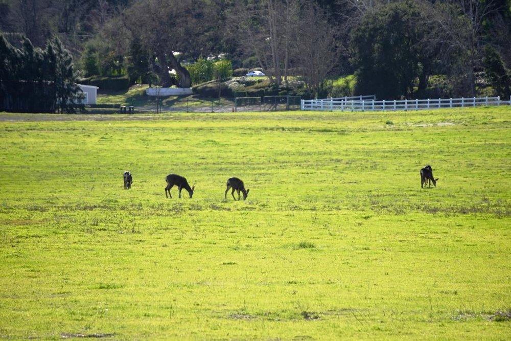 Deer enjoying the green in Hidden Valley