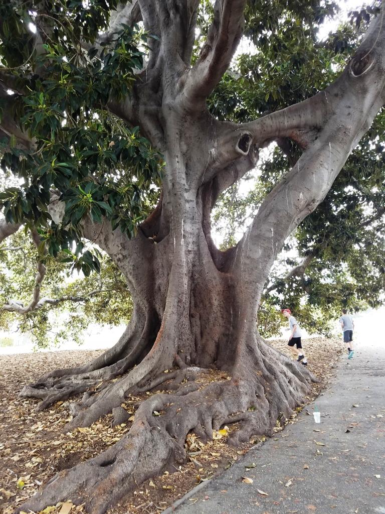 Moreton Bay Fig Tree at Plaza Park in Ventura