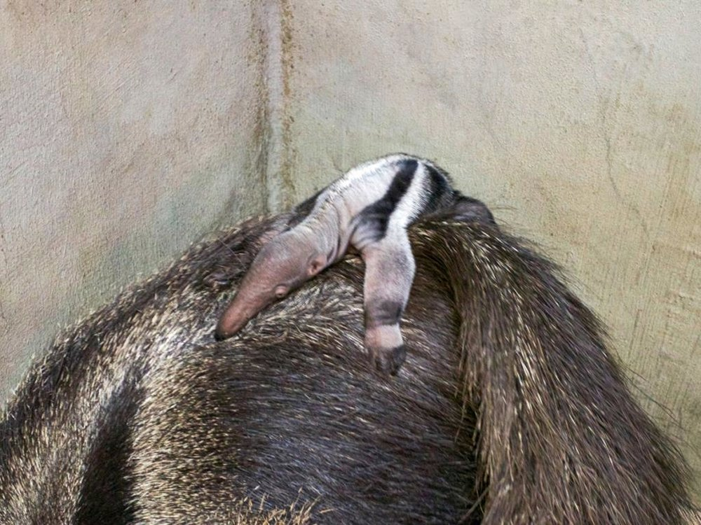 Giant anteater pup #1 with mom.