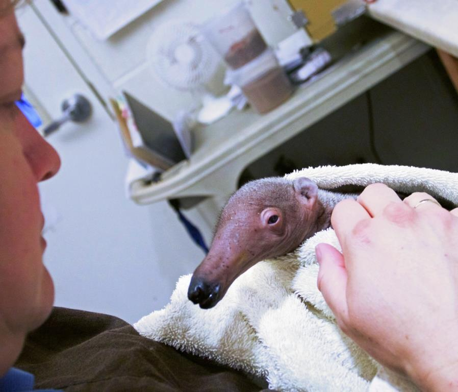 Giant anteater pup #2 being hand reared by SB Zoo staff.