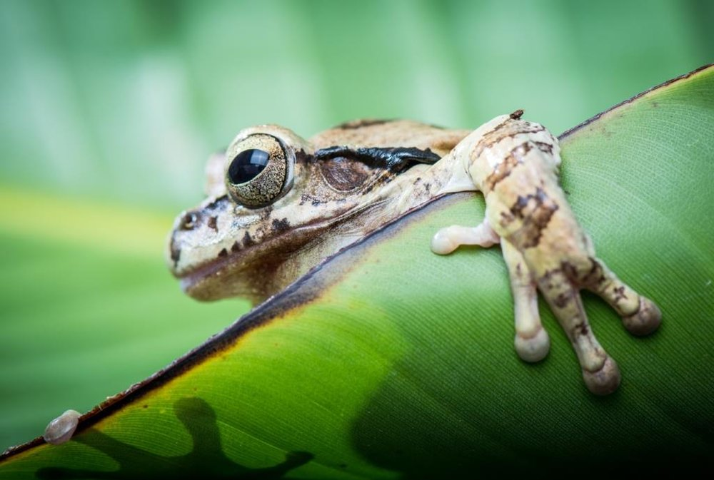 Robert Houchen's image of a tree frog emerging from behind a leaf.