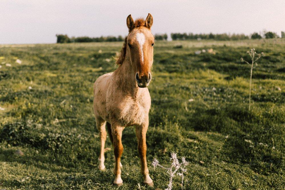 סוסים ברמת הגולן ישראל.jpg