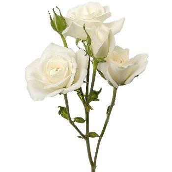 b99ec47ec1141e231d08f0566c31a1af--roses-roses-rose-flowers.jpg