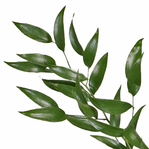 Italian_Ruscus_Single_Stem_Close_Up_500_8518ad38.jpg