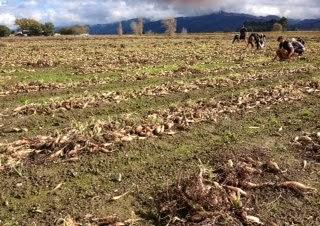 Shallot field