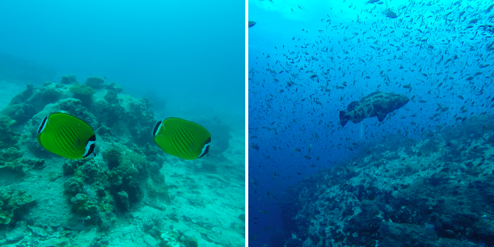 Weibel's Butterfly Fish + Giant Grouper