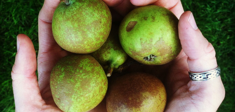 Pears for Pear Cider