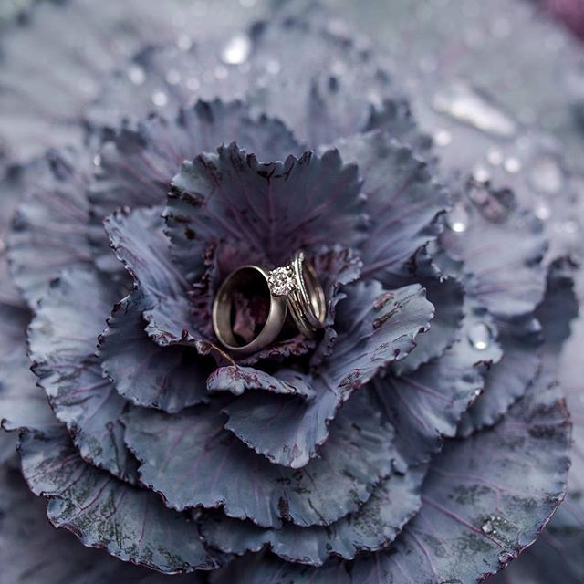 Been sitting here thinking about what kind of caption I could possibly put on this ring shot. But honestly, it's beautiful wedding rings on an insanely sweet looking decorative cabbage outside of @incdelcakes ...what else is there to say?! 💁🏻‍♀️❤️ #thesamanthalynnphotography #ringshot #decorativecabbage #midwestwedding #springfieldillinoisweddingphotographer
