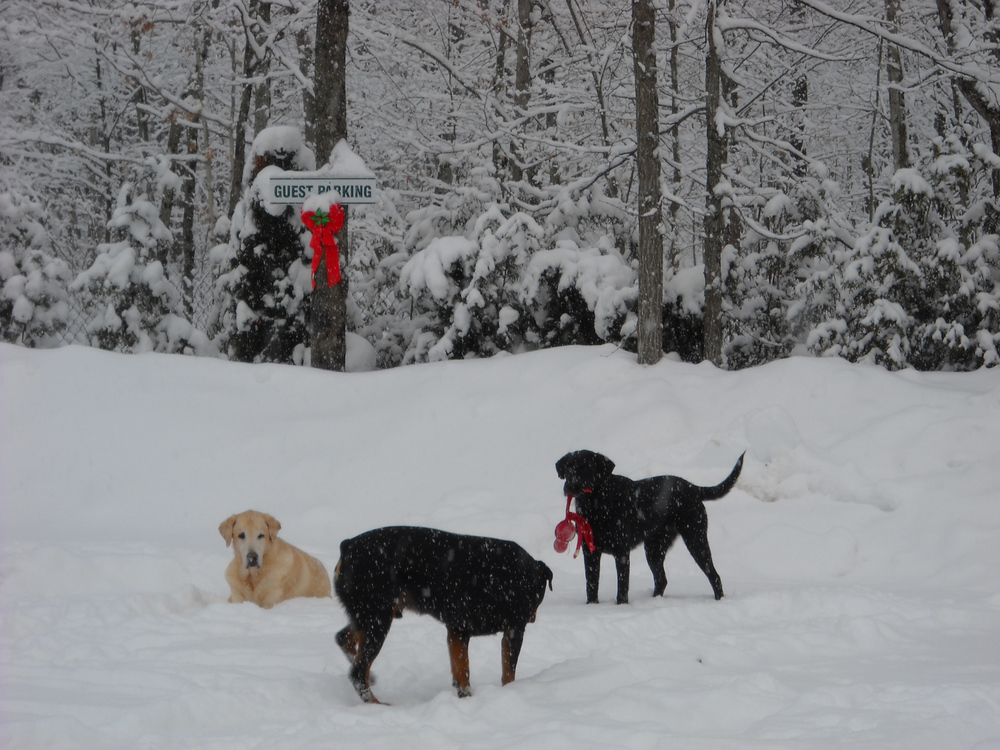 bayer-playing-with-the-labs-in-the-snow.jpg