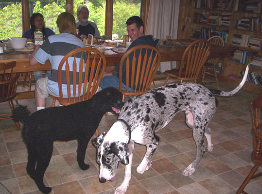 great-dane-looking-for-scraps-from-the-table.jpg