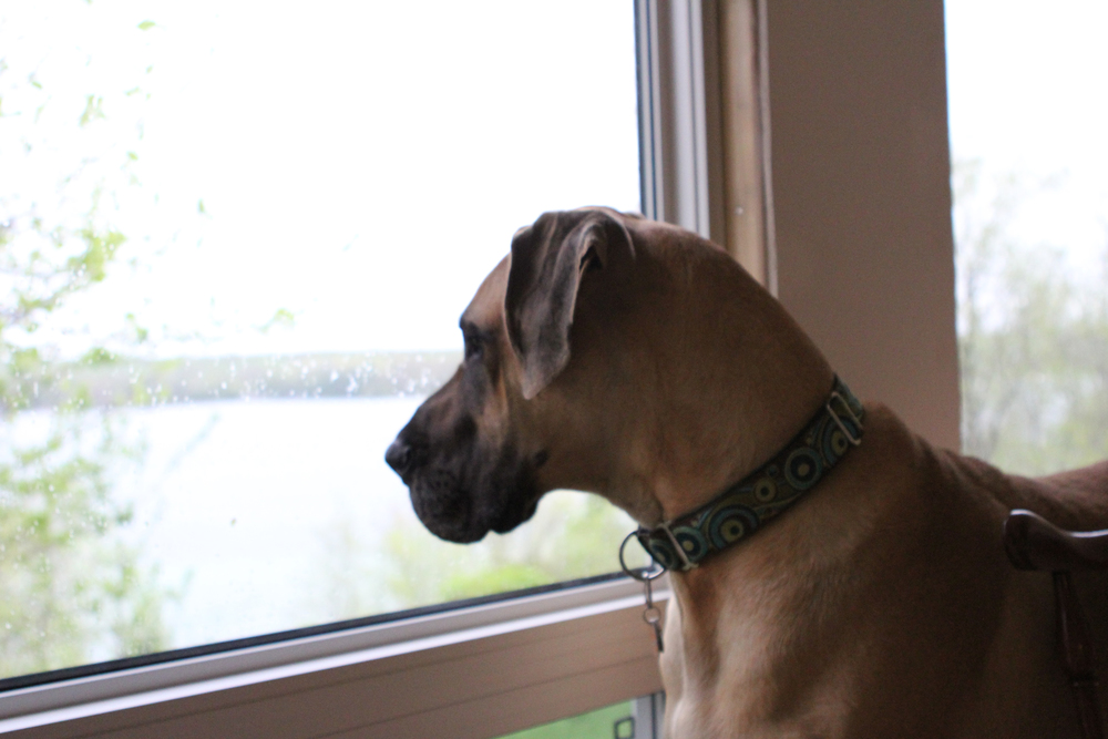 great-dane-looking-out-the-window.jpg