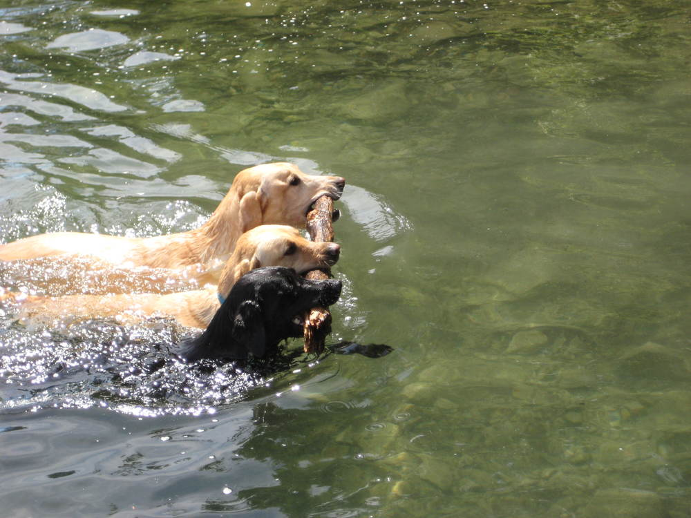 three-dogs-fetching-a-stick-in-the-water.jpg