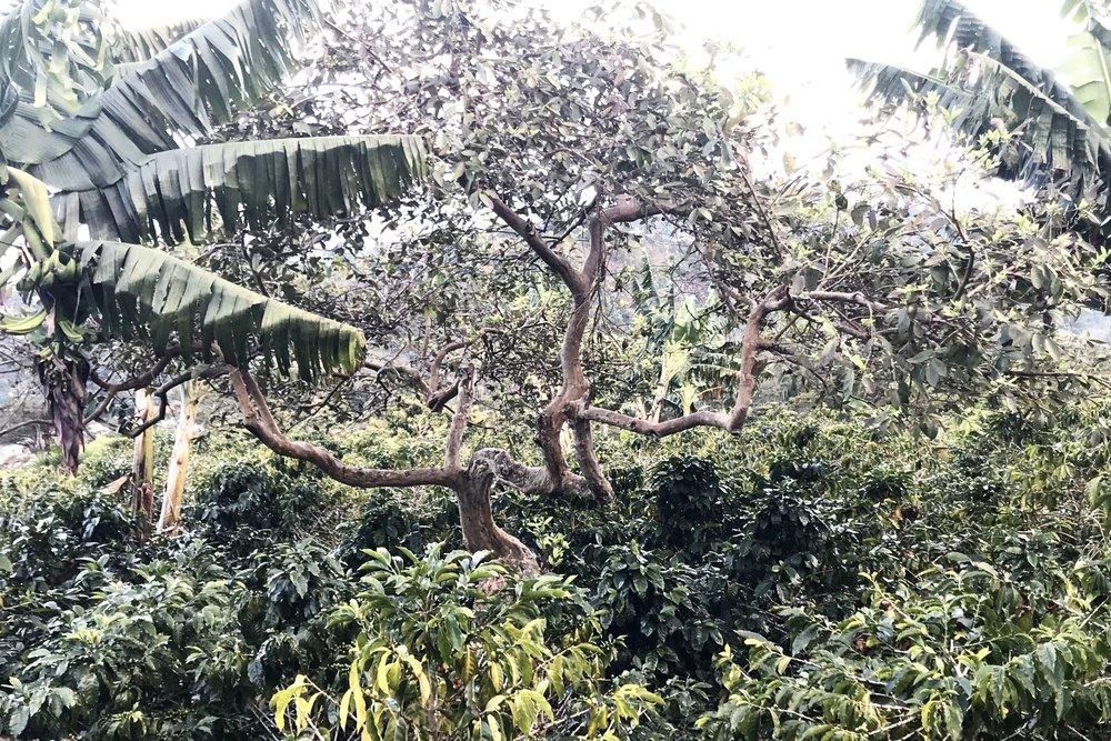 農園の真ん中に1本だけグァバの木があり、El Guayabo農園の名前の由来になりました。