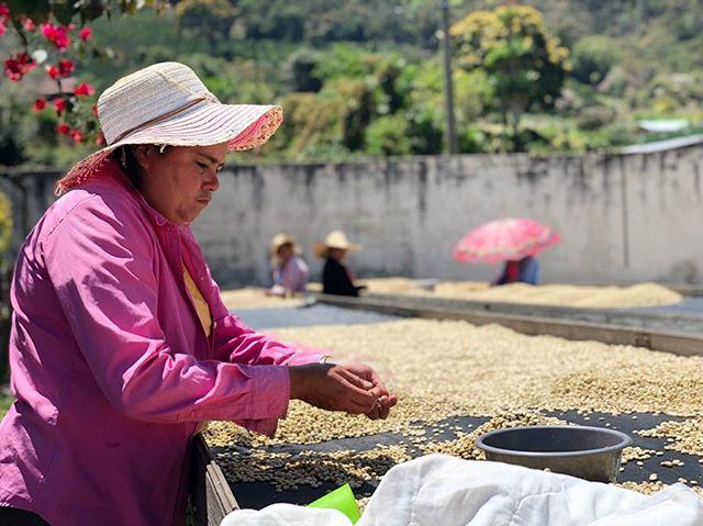 El Guayabo の生産者 Mario Moreno を訪ねました。去年は雨が多く土に水分が多く留まってしまったのに対し、今年は暑すぎる気候により、葉にダメージを受け、また渇いた土はコーヒーの果実を早く沢山実らせようとしてしまいます。そのため、来年の減産への対策をしなければならいなど、この様な気候変動の影響を2年連続で目にしました。幸いカップクオリティはいつものGuayabo らしい果実味としっかりとしたボディを持つ素晴らしいコーヒーです。今年もかなりの少量になりそうですが、今年の秋くらいには皆さまにお届けできると思います。#fuglenhonduras
