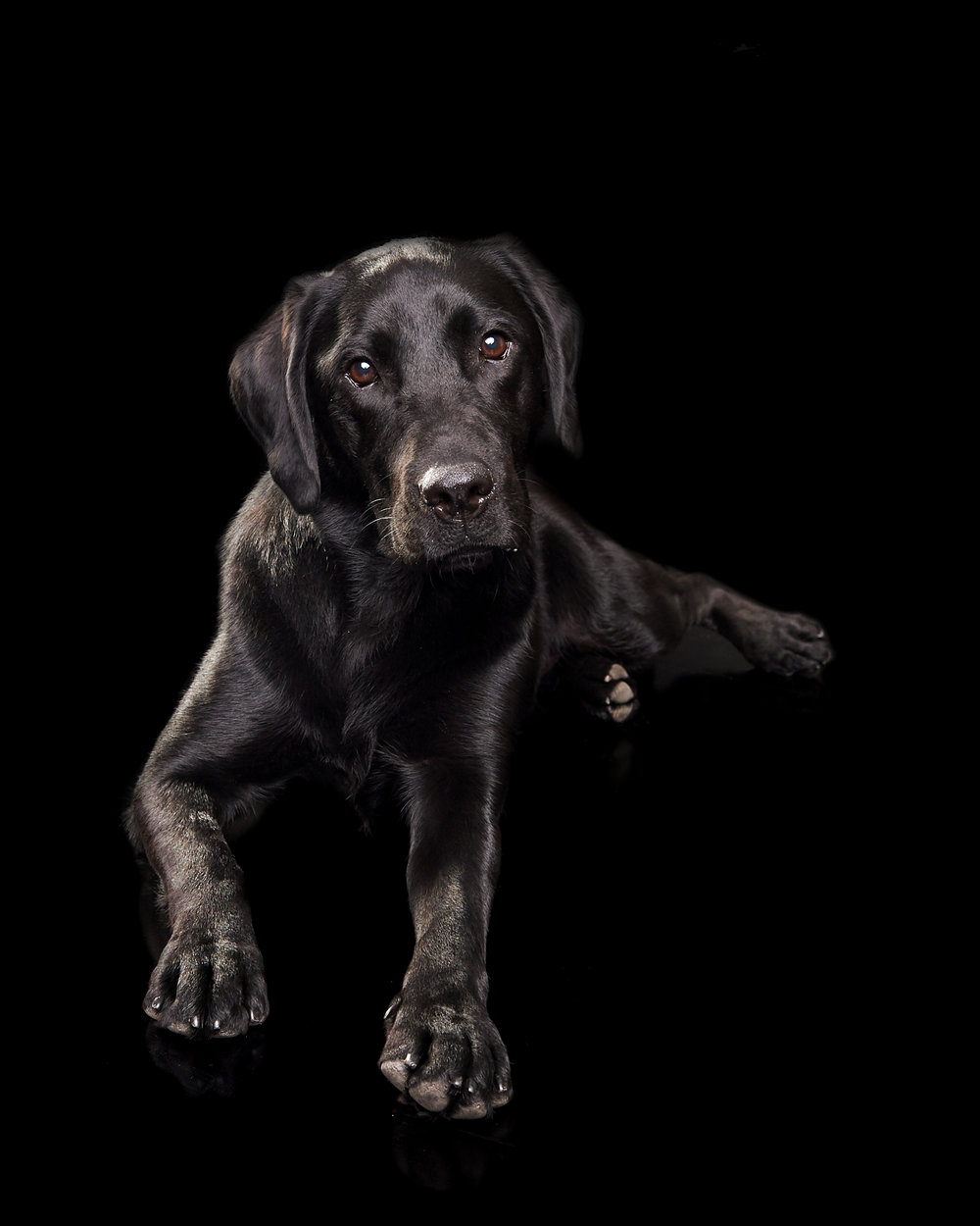 labrador_pet_dog_four_paws_portrait