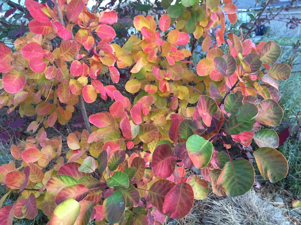 Golden Spirit Smokebush Fall Color (Cotinus coggygria 'Golden Spirit')
