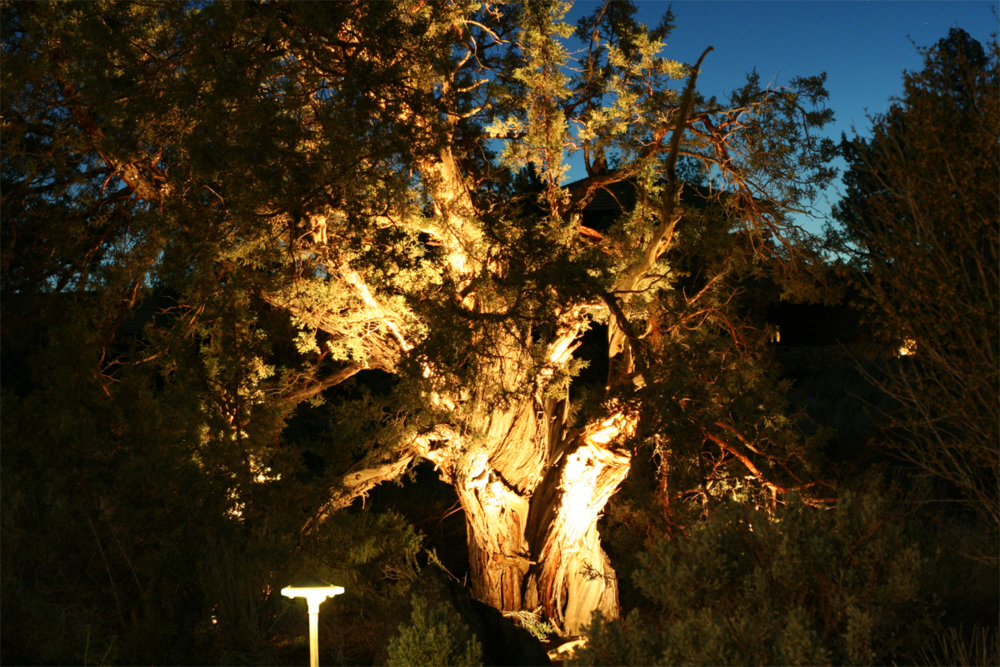 Path Light + Accent on Juniper Tree