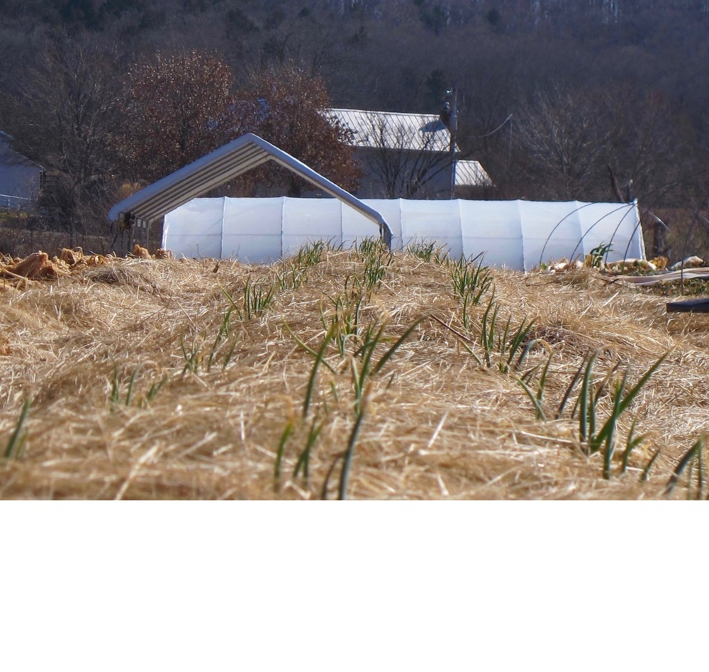 Movable High Tunnel + garlic. The high tunnel is on a track that moves over 3 sections. The covered section protects a crop of greens, carrots and tender perennials throughout the winter, extending the season. In the foreground are garlic shoots, mulched in with straw.