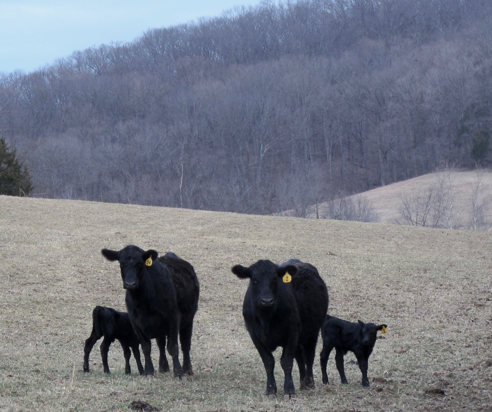 Angus cattle and calves a few days old.  A new addition to the farm last fall, 10 pregnant heifers were introduced so that we could better understand the challenges of raising beef cattle. The calves are born in the field with no assistance. The calf is walking within an hour, grazing and nursing shortly thereafter. The heifer is back on her feet quickly, and eats the placenta shortly thereafter.