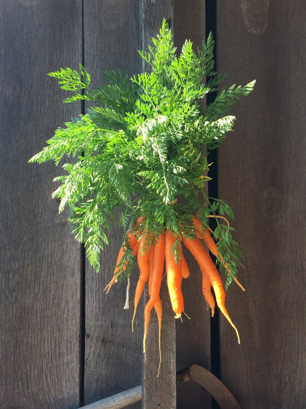 carrots in barn.jpg