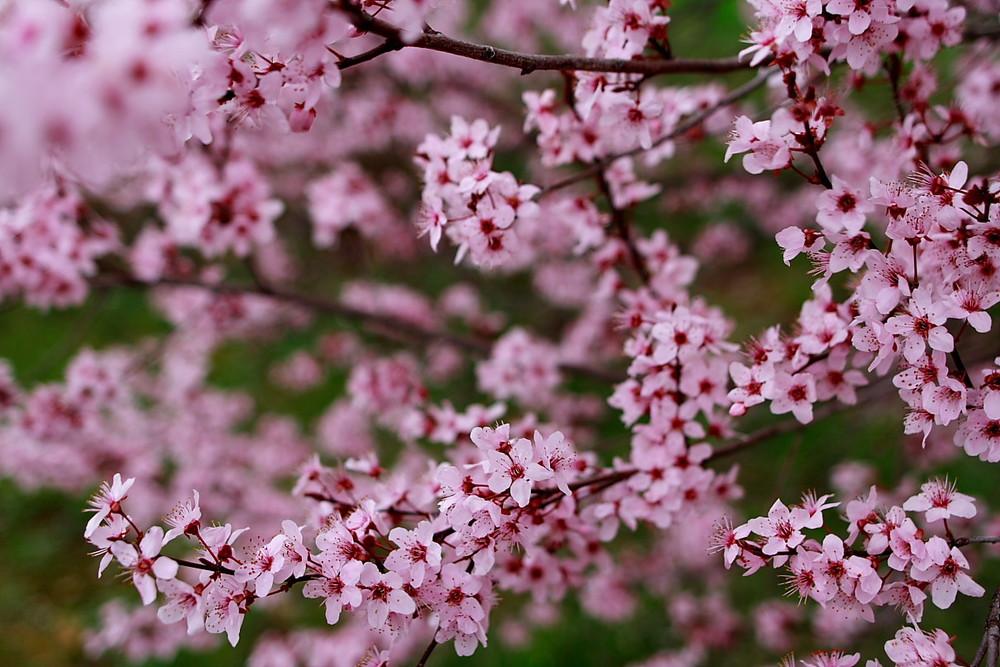 plum-tree-spring-blossom