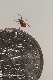 Deer ticks are very small