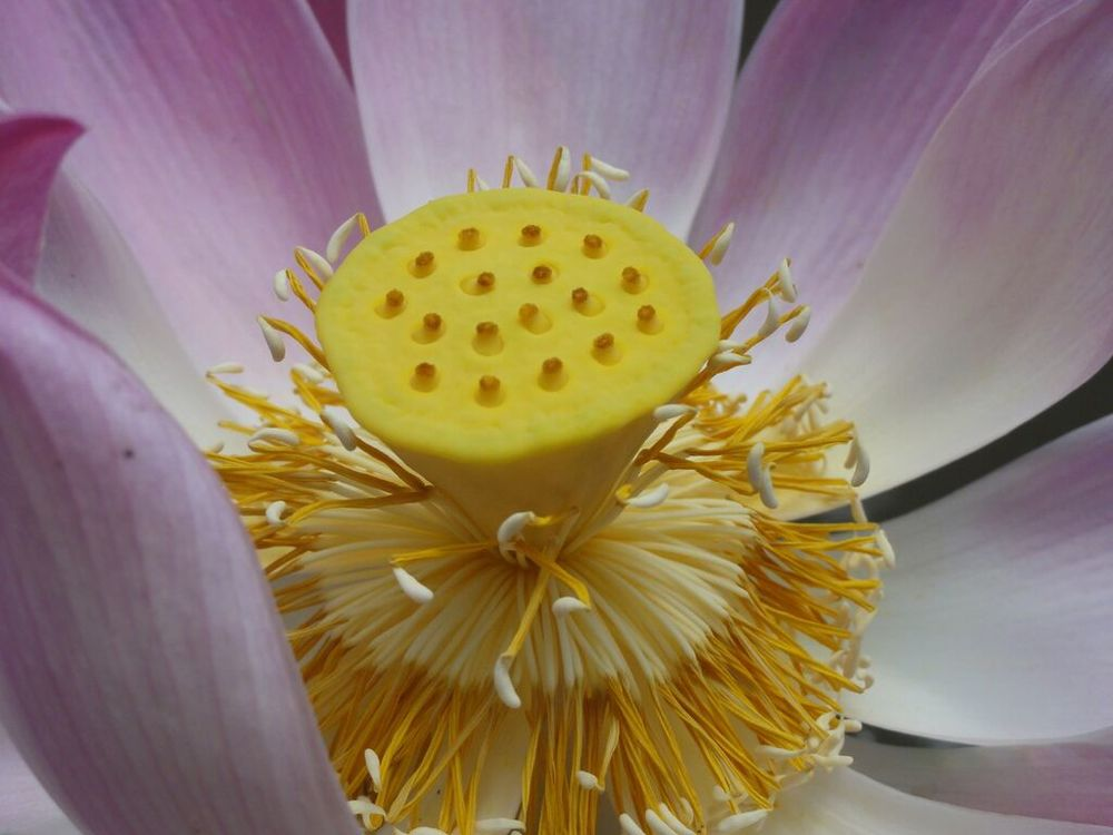 The Hidden World of a Lotus, Photo by Jane Carleton