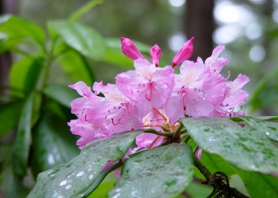 Rhododendrons in Northern California, Photo by Jane Carleton