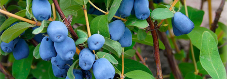 Haskap berries taste like a cross between blueberry and raspberry, and makedeliciouswine, according to LaHave Natural Farms in Nova Scotia.