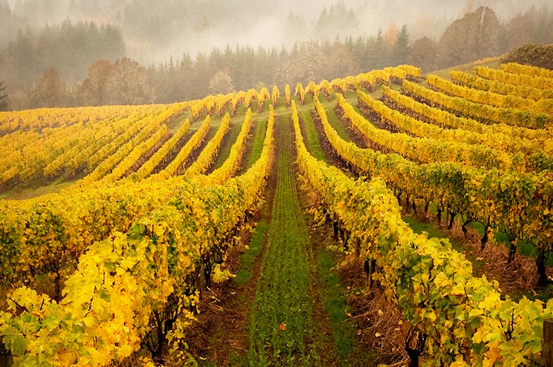 Carlton Oregon Vineyard in Fall