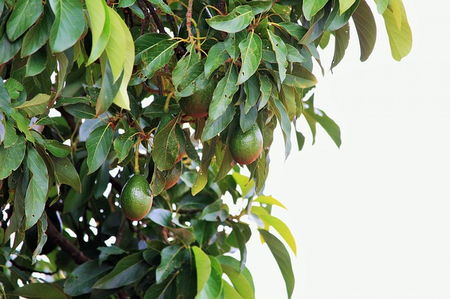 Mature Avocado Tree