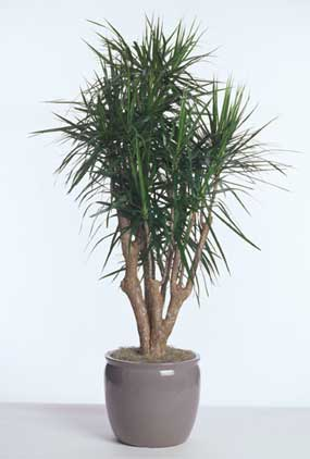 Dracaena Marginata Stump Acclimated