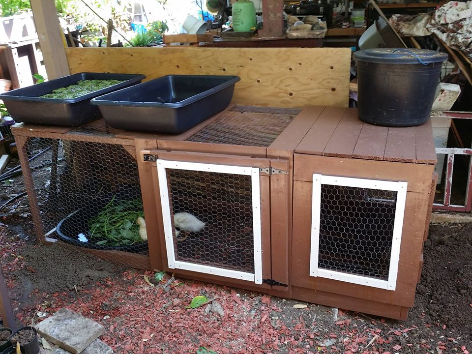 feeding your ducks for aquaponics.jpg