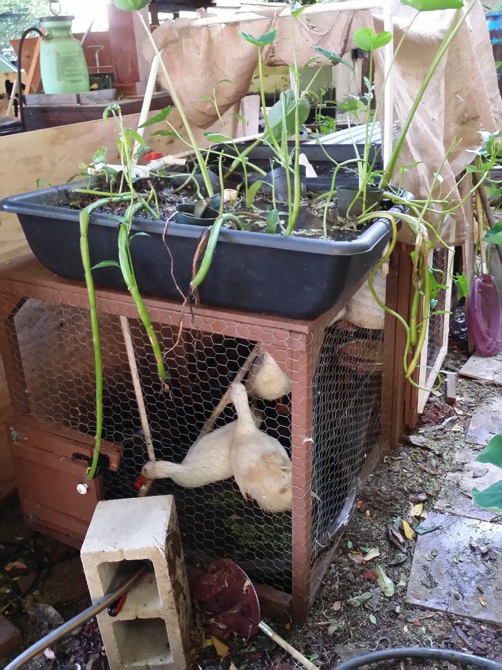 white ducks in an aquaponics like system.jpg